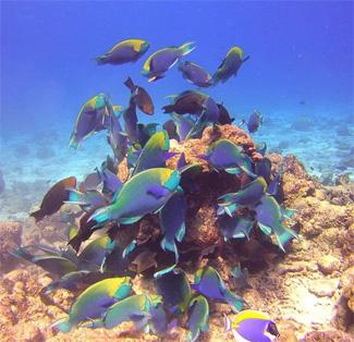 Anita's reef fish Thailand