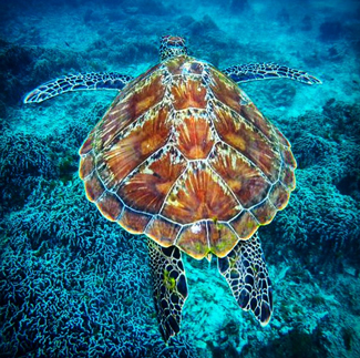 Green turtle at Koh Bon