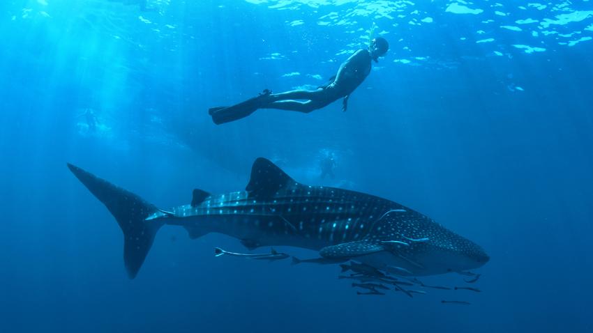 Whale Sharks near Koh Tachai
