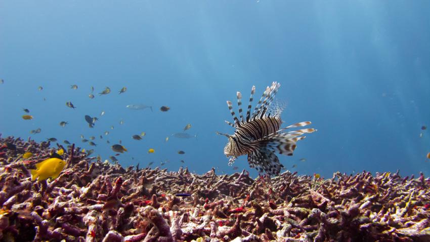 Diving Similan islands lionfish