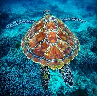 Green turtle at Koh Bon